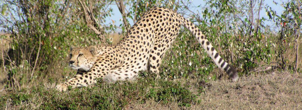 Kenya Cheetah safari