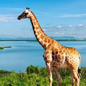 Rothschild Giraffe Endangered
