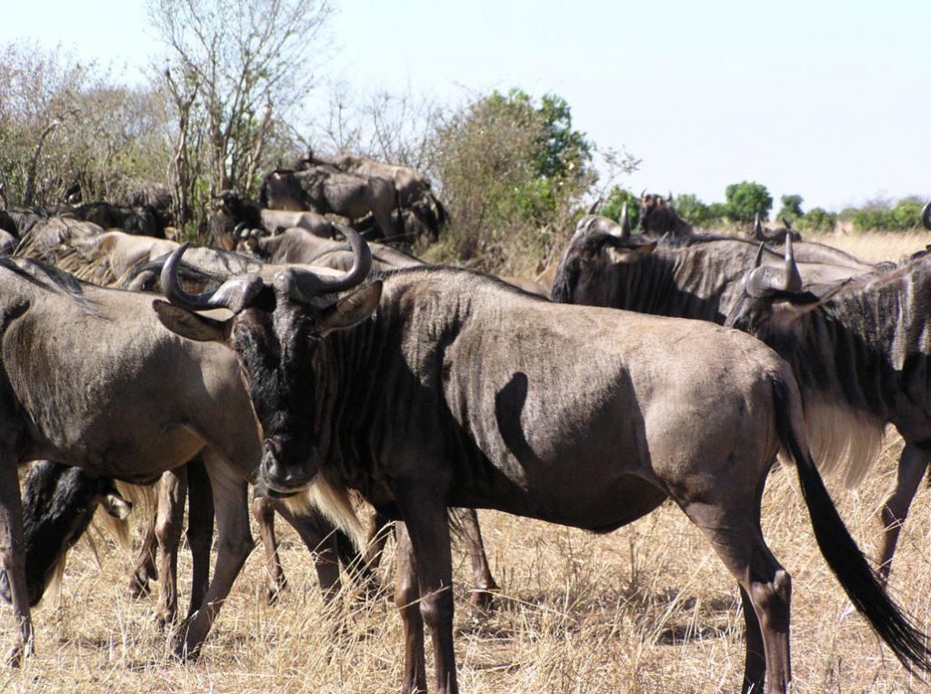 Wildebeest migration, Kenya safari