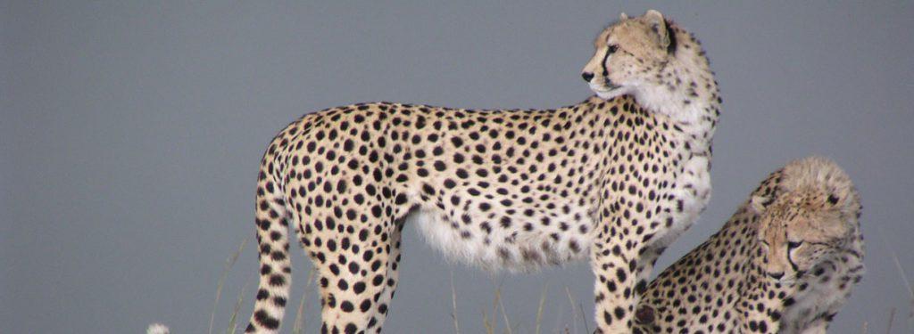 cheetah, Kenya holiday safari