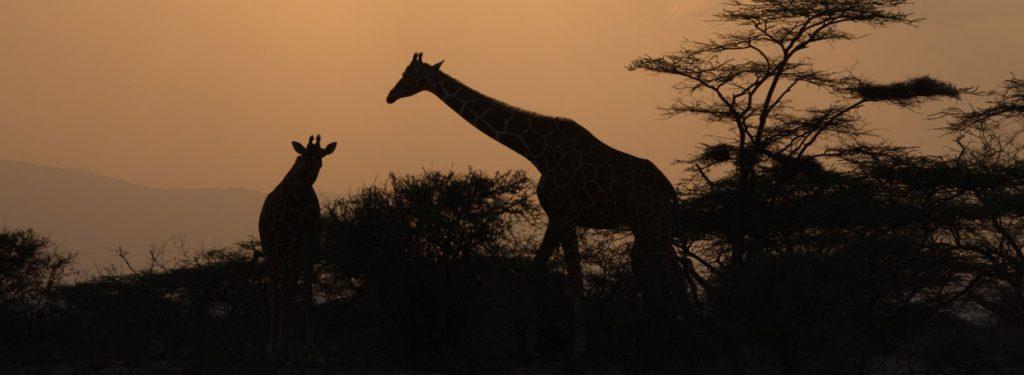 Giraffe silhouete, safari in Kenya