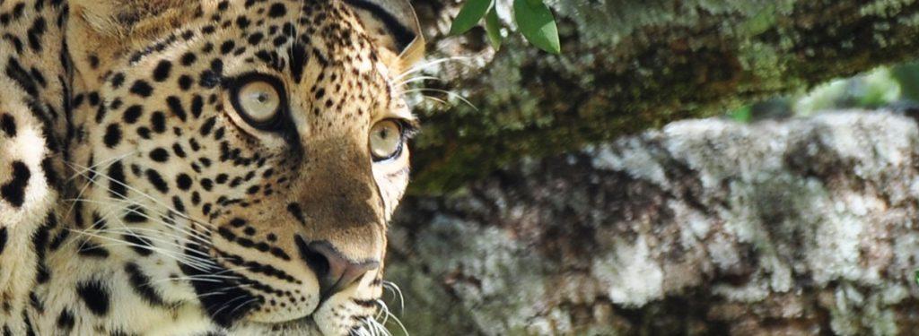 Leopard watching, Kenya safari