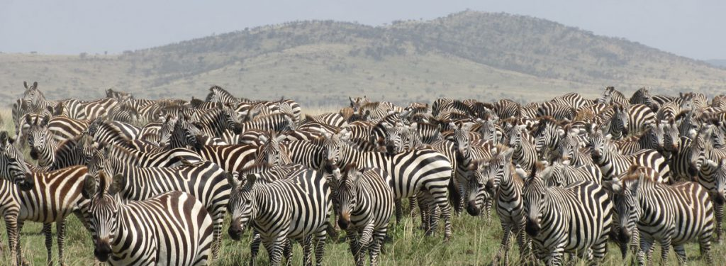 The migrating zebras, Kenya safari