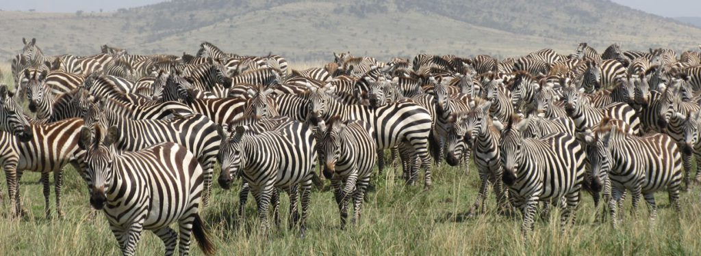 Migrating zebras, kenya safari