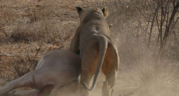 Lioness makes a kill, kenya safaris