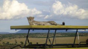 cheetah on rood, Masai Mara safari