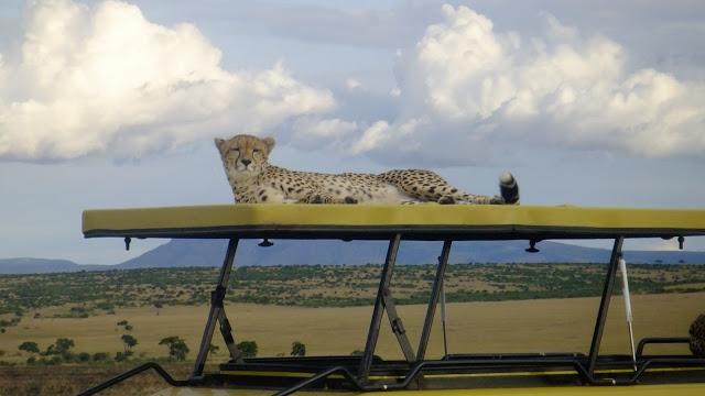 Cheetah having a rest, Kenya safari